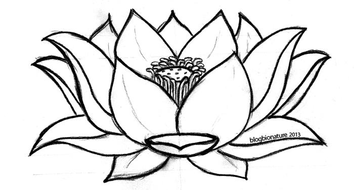 lotus (c)blogbionature