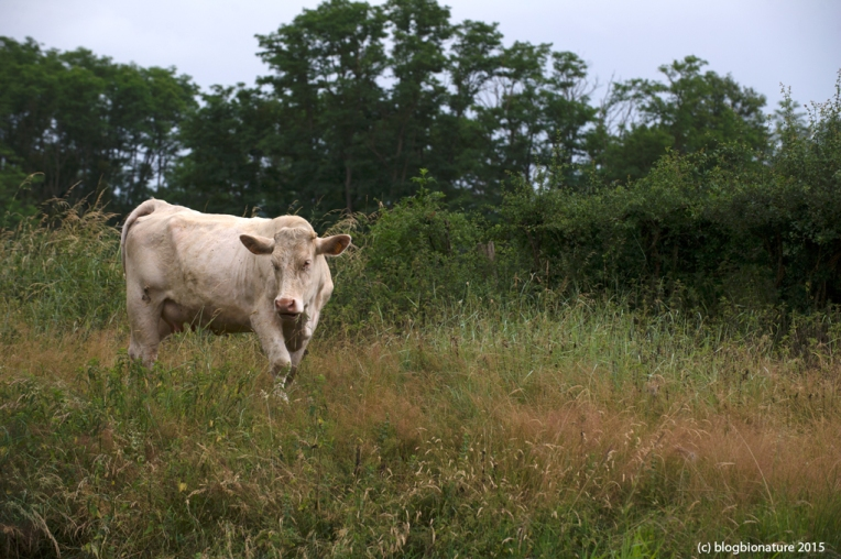 vaches (1)
